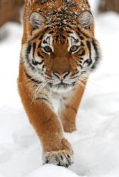 Werbetexte so scharf wie ein Tiger